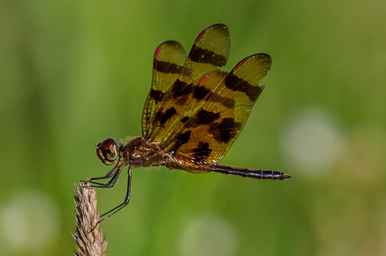 Halloween Pennant Dragonfly #2
