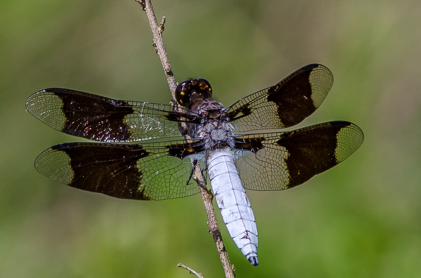 Common White-tailed Skimmer #2