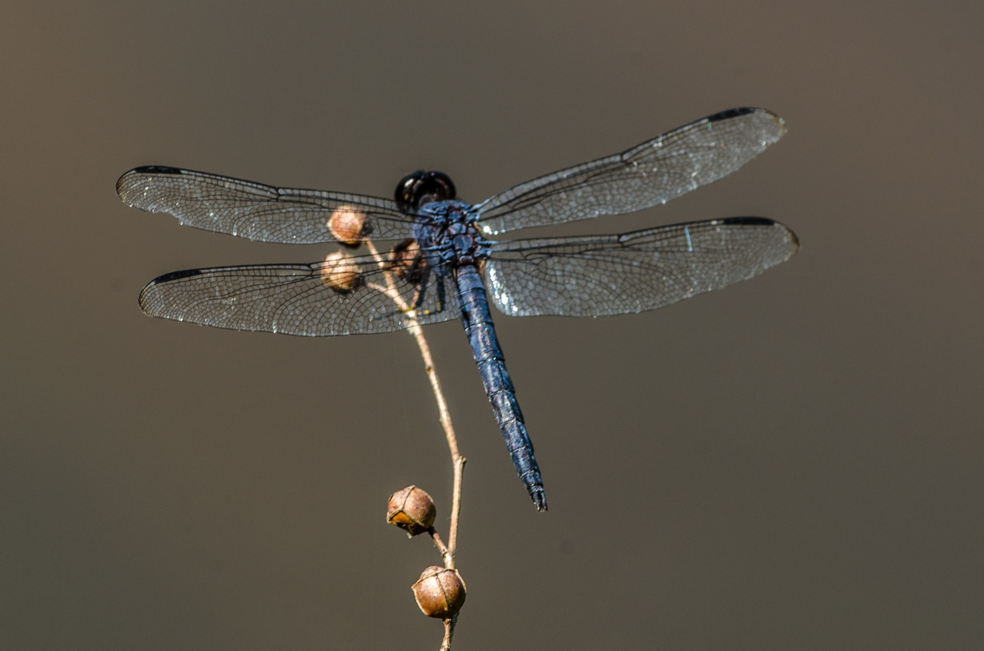 Great Blue Skimmer #1