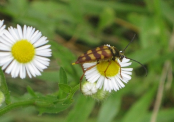 Notch-tipped Flower Longhorn Beetle (on Daisy Fleabane)