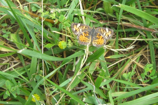 Pearly Crescentspot Butterfly