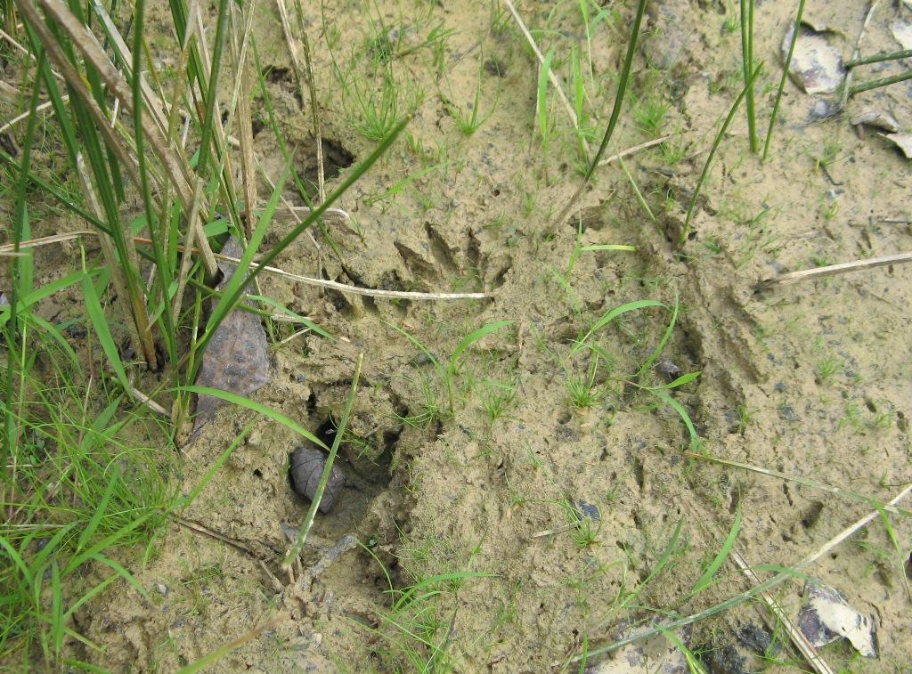 beaver paw prints