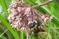 Carpenter Bee (on Milkweed)