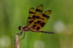 Halloween Pennant Dragonfly #2