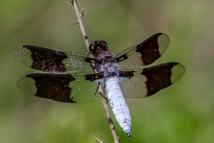 Common White-tailed Skimmer #2