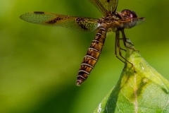 Low-Flying Amber Wing Dragonfly