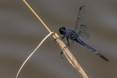 Double-ringed Pennant Dragonfly