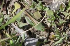 Green Striped Grasshopper (female)