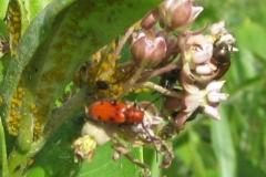 Red Milkweed Beetle (with Yellow Aphids)