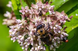 milkweed and bee